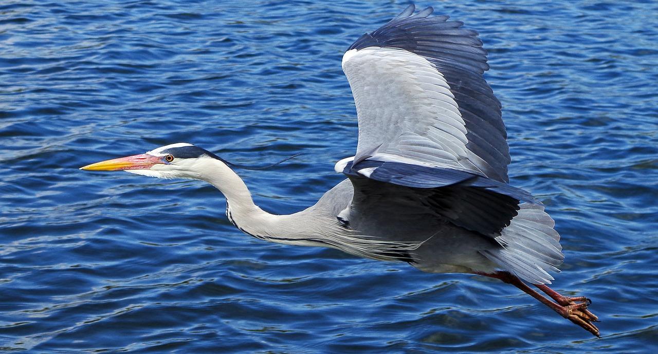grey-heron-139979_1280